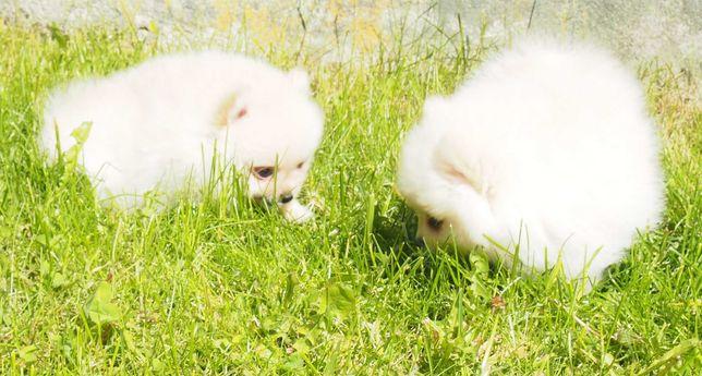 *Pomeranian typ. Misia pieski z rodowodem 3 szczepienia + wścieklizna*