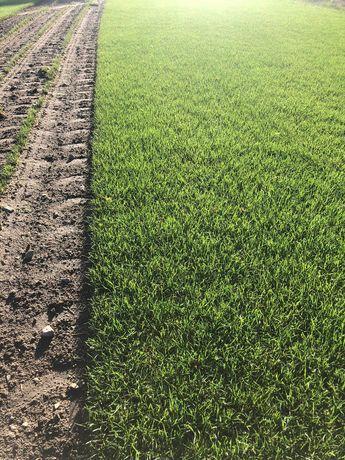 Trawa z rolki, rolka trawy, trawa rolowana, trawnik, producent