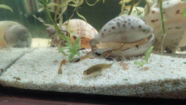 Gupik gupiki rybki akwariowe