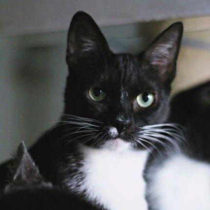 Dashi - dorosła koteczka szuka spokojnego domu stałego lub tymczasu