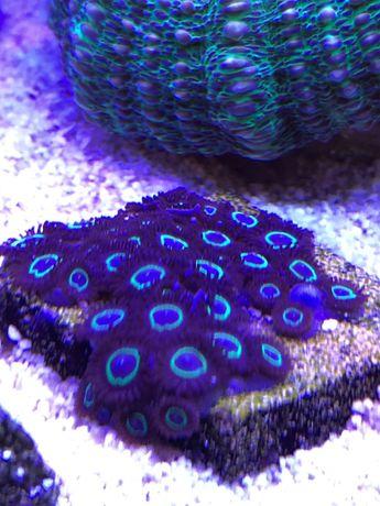 Zoa Teal Ring, koralowce miękkie, morskie