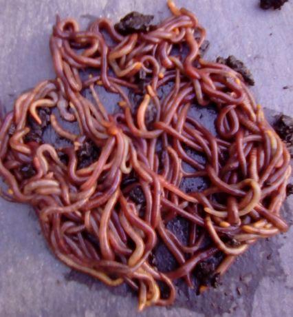 100 Minhocas Californianas p/compostagem Vermicompostagem Minhocultura