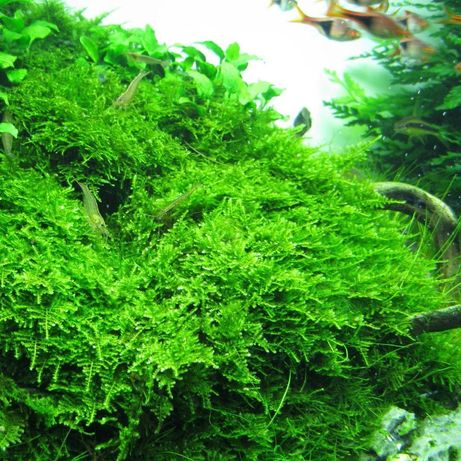 Christmass Moss (Vesicularia Montagnei.) 10g