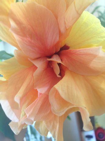 """Гибискус """"китайская роза"""" оранжевые цветы"""