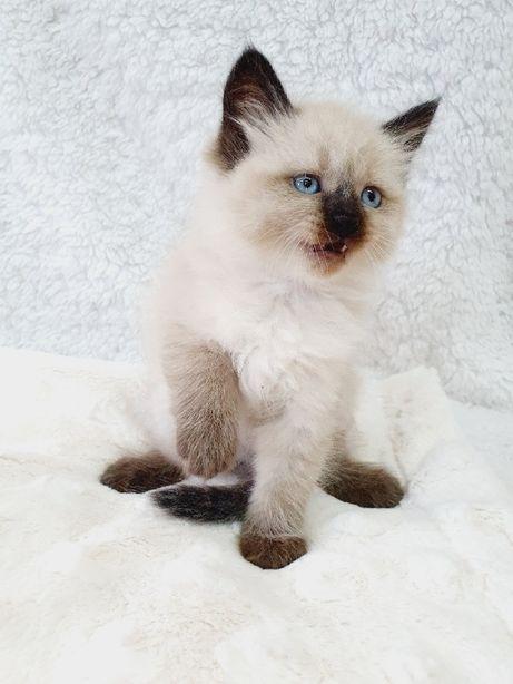 Syberyjskie Koteczki