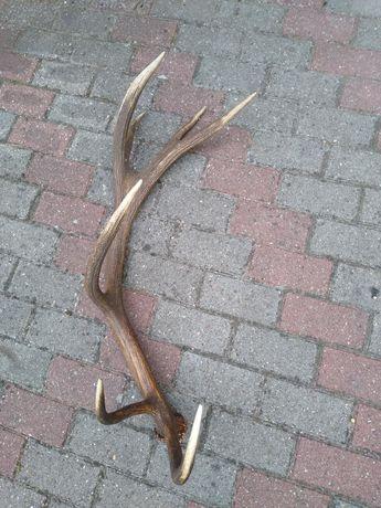 Poroże jelenia - zrzut 14-tak  2,70 kg