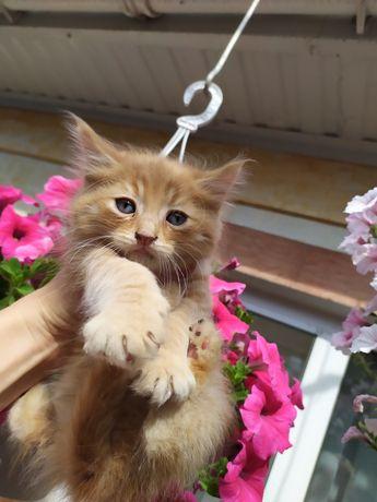 """Отдам """"Тигра"""" котенка с голубыми глазами в хорошие руки"""