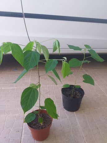Uva japonesa (Hovenia dulcis)