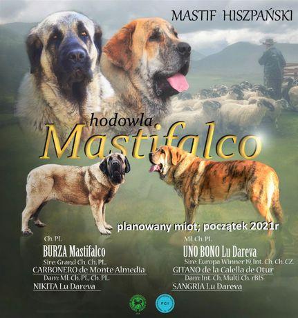 Mastif Hiszpański - szczenięta!