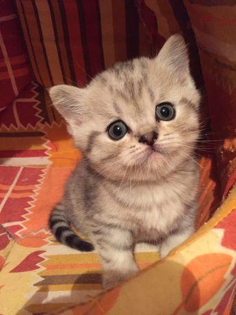 Котенок полосатый скотиш-страйтмальчик