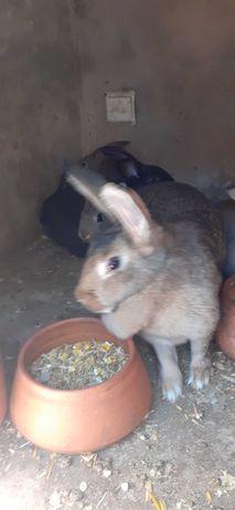 Vendo coelhos biológicos