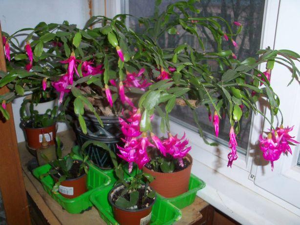 Домашнее растение, цветок, китайская роза, возраст 25 лет.