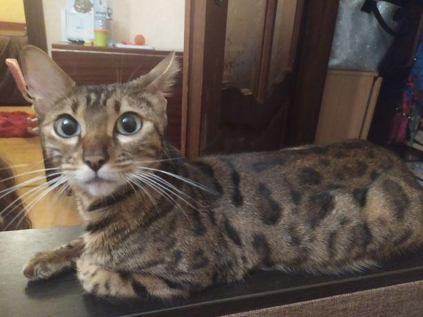 Продається бенгальська кішка