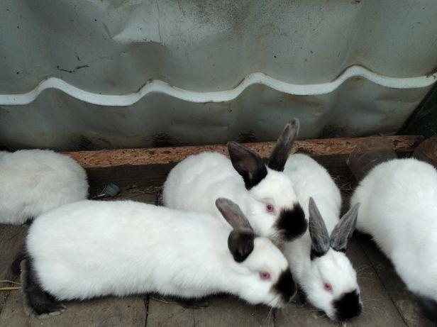 Кролі.кролики.каліфорнійці.