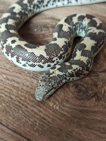 Wąż , węże ,  (zbożowy, królewski, machoniowy, lacentogłów)