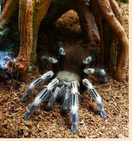 самки подростки Nhandu chromatus паука птицееда для новичков