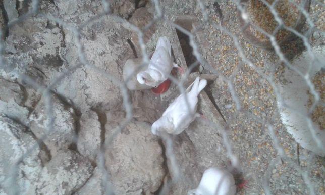 Pombos gravatinha chinês