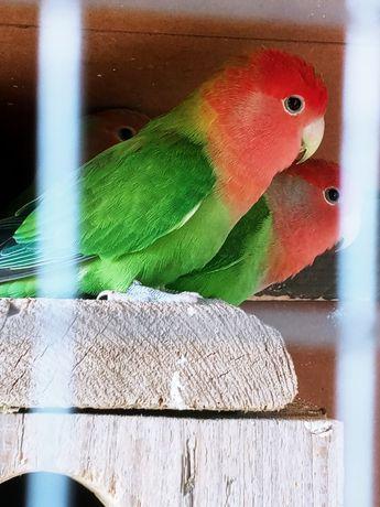 Sprzedam papugi Samica z młodymi nierozłączki czerwonoczelne.