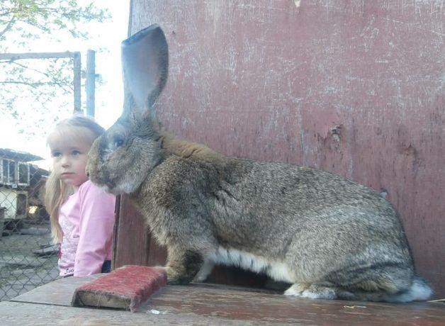 кролика великани