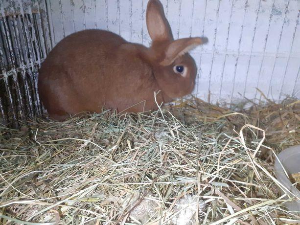 Sprzedam królika samice wiedeńską kotną