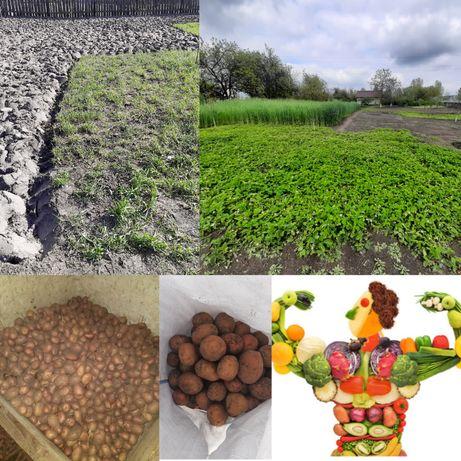 Топинамбур,  Топінамбур, Земляная груша, Домашняя картошка,