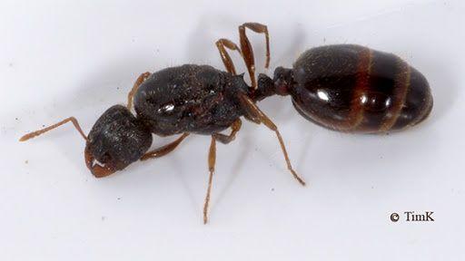 Продам муравьев вида Tetramorium Caespitum / ОПТ / Розница