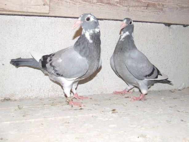 Gołąbki od Mariana nr 51 - gołębie staropolskie