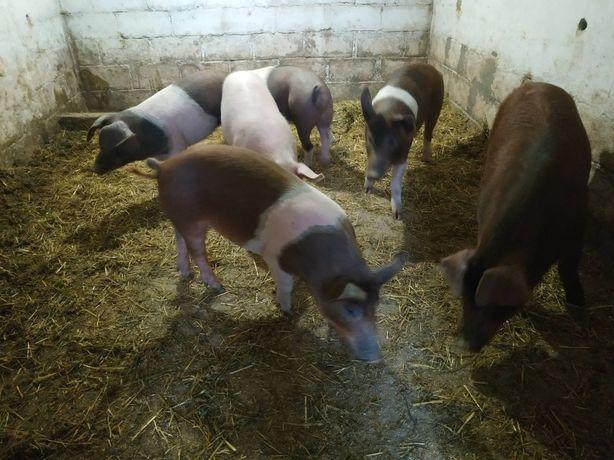 Продам поросят на племя 5 свинок и хрячёк.