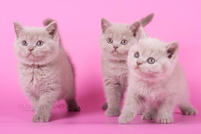 Шикарные прямоухие котята