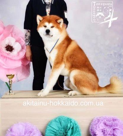 Вязка Акита Ину