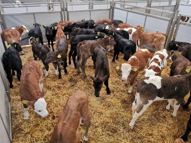 Byczki czarno-białe i MM POLSKIE duży wybór
