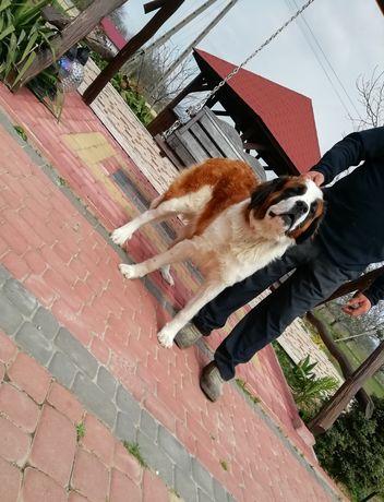 Bernardyn długowłose umaszczenia płaszczowego szczeniaki