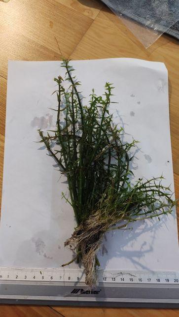 Gratiola viscidula (ok.30 sztuk)