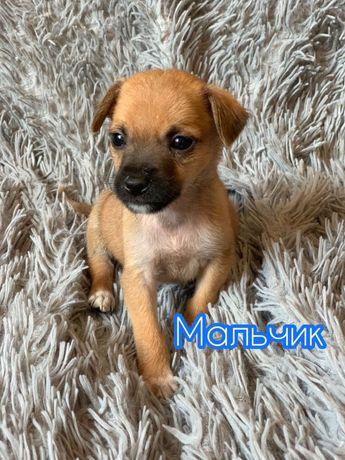 Отдам щенка (мальчик), возраст 1 месяц