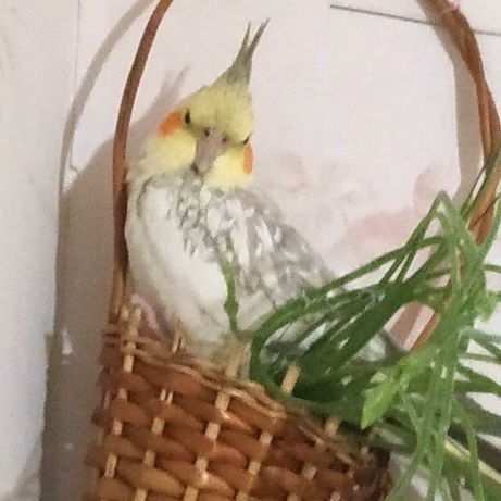 ПРОПАЛ попугай корелла. ДНЕПР
