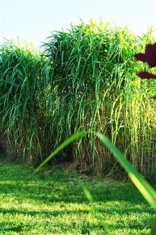 Gęstę i zdrowe karpy miskant olbrzymi,mischantus gigenateus,bambus, Bydgoszcz - image 1
