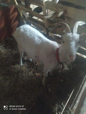 Koza mleczna miesiąc po wykocie