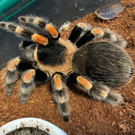 Брахипельма Смитти Brachypelma smithi паук птицеед для новичков