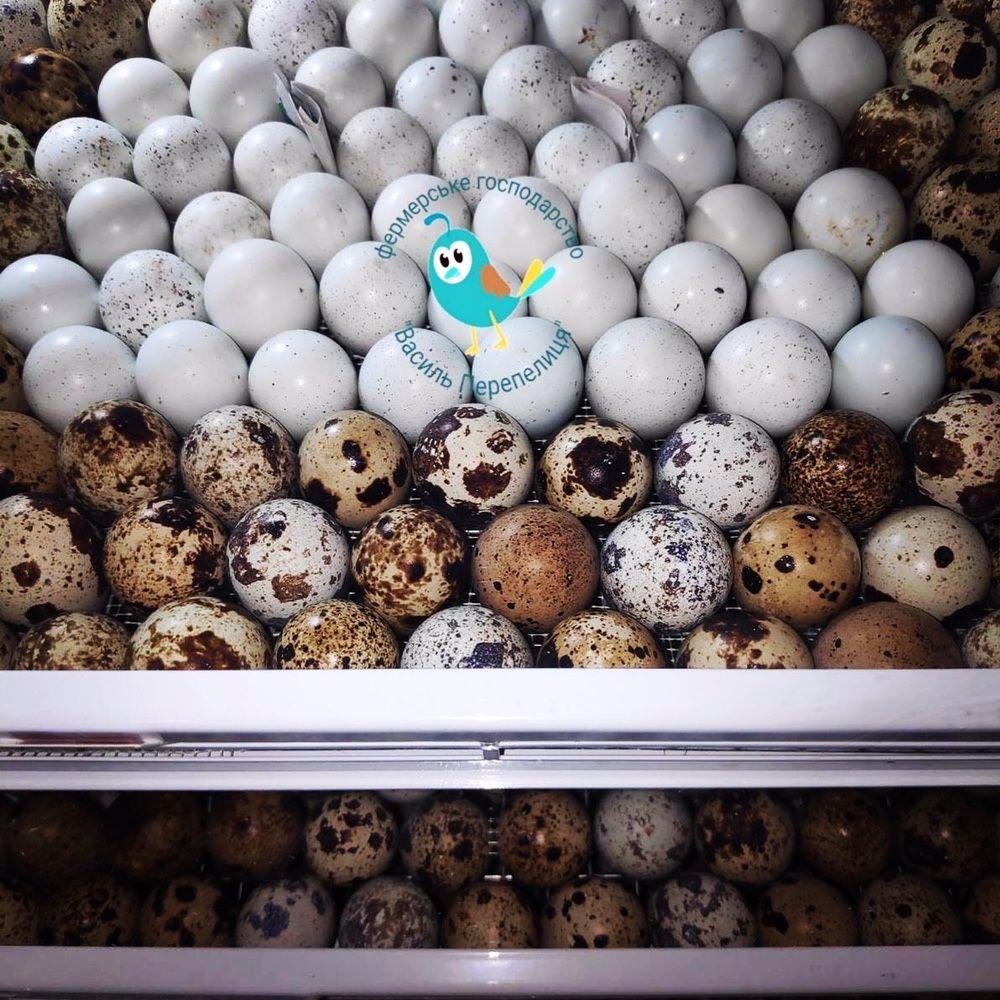 Інкубаційне яйце Техаська Фараон Фенікс Англійський Московск