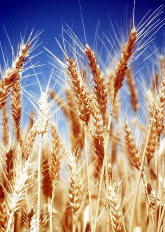 Продам пшеницу отличного качества
