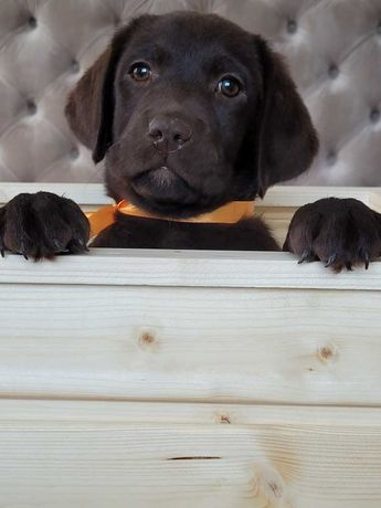 Labrador Retiever - czekoladowe szczeniaki z Rodowodem