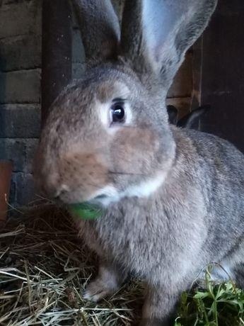 Króliki tuszki królika