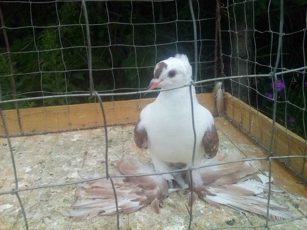Czajka - gołębie ozdobne