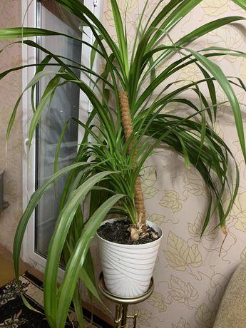 Отростки  пальмы