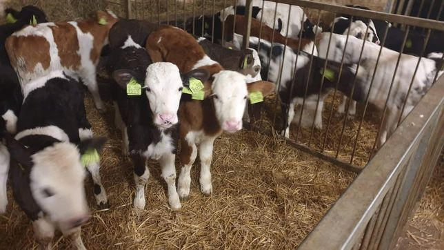 CAŁA POLSKA Sprzedam byczki cieleta miesne DOWOZ GRATIS