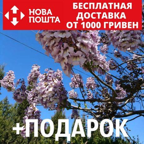 Павловния сиреневая свежие семена (около 2500 шт) декоративное дерево