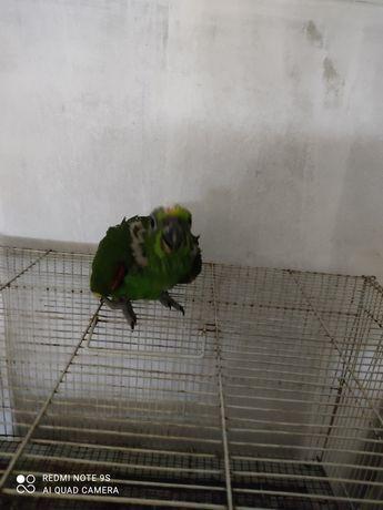 Papagaio amazonas Ochrocephala