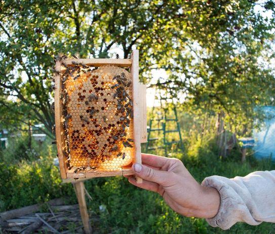 Матка пчелиная - Пчеломатка вывода 2020 г. (Бджоломатка) Карпатка !