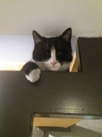 Roczny wykastrowany sliczny kocurek Leo szuka kochąjacego domku.