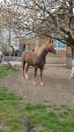 Кінь робочий